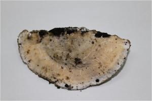 Trametes elegans チリメタケ